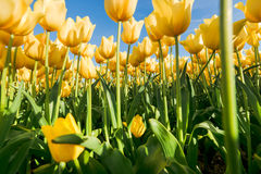 Tulips an fields in spring in the Netherlands. Stock Images
