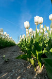 Tulips an fields in spring in the Netherlands. Royalty Free Stock Image