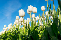 Tulips an fields in spring in the Netherlands. Stock Photo