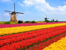 Tulips fields and windmills. Vibrant tulips fields with windmills in the background, Netherlands Stock Photo