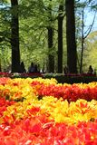 Tulips fiels yellow forest Netherland. Tulips red yellow colorful at farm and forest at Keukenhof Netherland Stock Photo