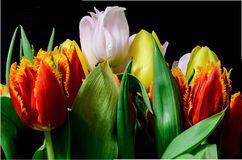 Tulips. Firts spring tulips on black background Royalty Free Stock Photography