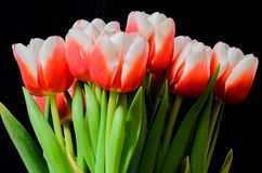 Tulips. Firts spring tulips on black background Stock Image