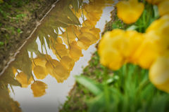 Tulips in Flooded Field Stock Photo