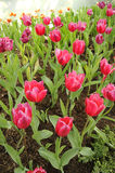 Tulips flower. Red Tulips flower in asia garden Stock Photo
