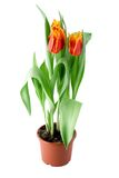 Tulips flower Royalty Free Stock Image