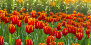 Tulips flower Royalty Free Stock Images