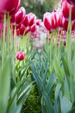 The tulips flower bed Royalty Free Stock Photography