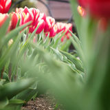 Tulips on a flower bed Royalty Free Stock Images
