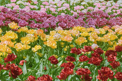 Tulips Flower Bed Stock Images