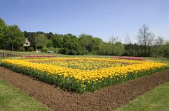 Tulips flower bed in garden stock images