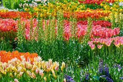 Tulips Flower Bed royalty free stock photos