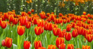 Tulips flower field Royalty Free Stock Images