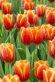 Tulips flower field Stock Image