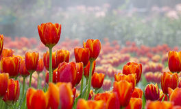 Tulips flower field Stock Images