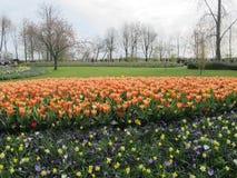 Tulips flower Royalty Free Stock Photo