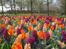 Tulips flower Stock Photo