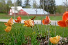 Tulips Liliaceae Lilieae Tulipa in Flower Garden with Farm in Background Stock Image