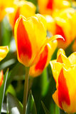 Tulips flower Garden Royalty Free Stock Photos