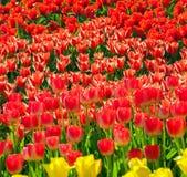 Tulips in flower garden Kukenhof park, Holland, Netherlands Stock Photography