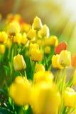Tulips in flower garden lit by sun rays Stock Photos