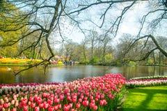 Tulips flower Keukenhof farm. Spring Season. In Amsterdam Netherlands Royalty Free Stock Photo