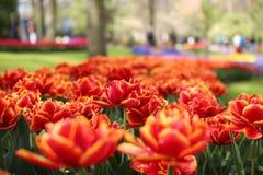 Tulips. Flower in Keukenhoff, Amsterdam during Tulip festival Royalty Free Stock Images