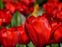 Tulips, Flower, Nature, Spring, Red Royalty Free Stock Photo