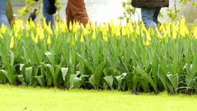 Tulips in Flower Park Keukenhof. Beautiful Action stock footage
