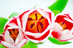 Tulips flower petals spring summer.  Royalty Free Stock Image