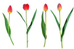 Tulips flower set isolated on white close-up clipping path included Royalty Free Stock Photography