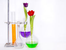 Tulips flower in a test tube Stock Image