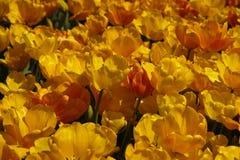 Tulips, Flower, Tulip Festival Stock Image
