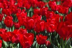 Tulips, Flower, Tulip Festival Stock Photography