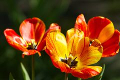 Tulips on flowerbed Stock Image