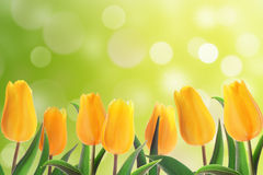 Tulips flowerbed Stock Photo