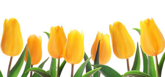 Tulips flowerbed Royalty Free Stock Photo