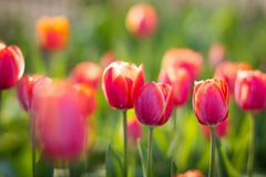 Tulips flowerbed background Royalty Free Stock Images