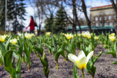 Tulips on the flowerbed in city park in the early spring Royalty Free Stock Photography