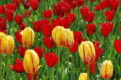 Tulips. Flowerbed with colorful tulips on the lawns of Kaliningrad Stock Photo