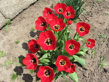 Tulips. On the flowerbed in the early spring Stock Photo