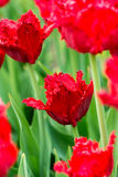 Tulips on flowerbed Stock Images