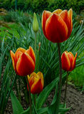 Tulips on the flowerbed. Some tulips on the flowerbed Stock Image