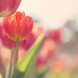 Tulips on the flowerbed in warm pastel colors Royalty Free Stock Photos