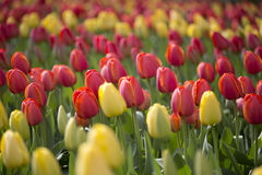 Tulips. Flowering colourful tulips in flowerbed Royalty Free Stock Images