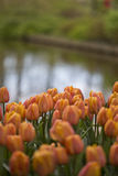 Tulips. Flowering orange tulips by a pond Stock Image