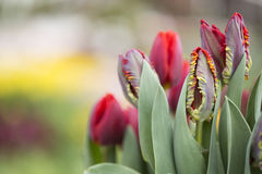 Tulips. Flowering red tulips against in flowerbed Royalty Free Stock Photography