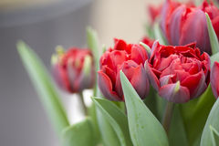 Tulips. Flowering red tulips close up Royalty Free Stock Photo