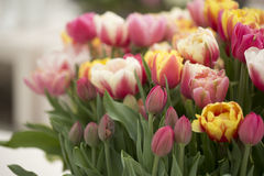 Tulips. Flowering red tulips close up Royalty Free Stock Image