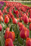 Tulips. Flowering red tulips in flowerbed Royalty Free Stock Images